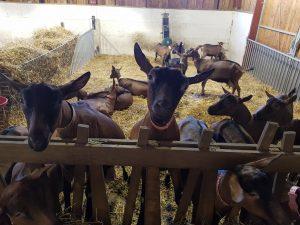 chèvres de Laura schmidhauser